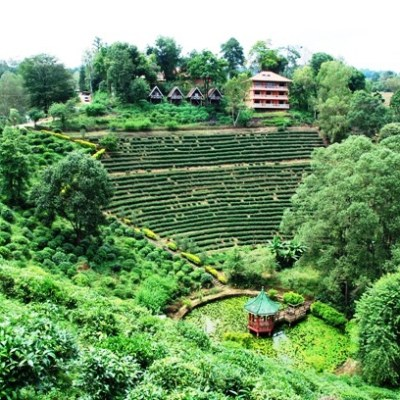 Tea plantations near Laolee Resort at Doi Wawee, Northern Thailand