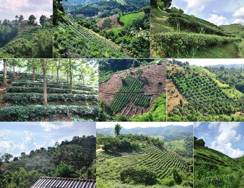 Tea Gardens at Ban Si Phan Rai, Doi Tung, Mae Fa Luang District, North Thailand
