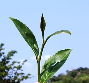 Cing Xin tea Cultivar, top leaves + tip, Feb 2013, Doi Mae Salong, north Thailand