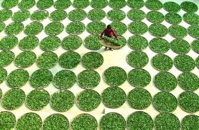 Sun-drying of Tie Guan Yin tea leaves in Anxi, province of Fujian, China