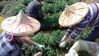 Lin and Bruce at harvesting our Tie Guan Yin Oolong tea in Anxi, province of Fujian