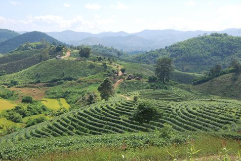 Panoramic tea garden in Ban Therd Thai