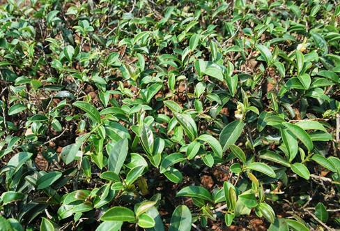 Bushes of the Ruan Zhi No. 17 Oolong tea cultivar in north Thailand