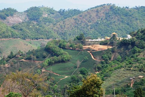 Cultivation of tea cultivars imported from Taiwan in Doi Mae Salong, north Thailand