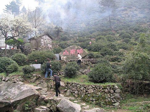"""Anji Bai Cha Teepflanze, im Jahr 1982 entdeckter """"Mutterbusch"""""""