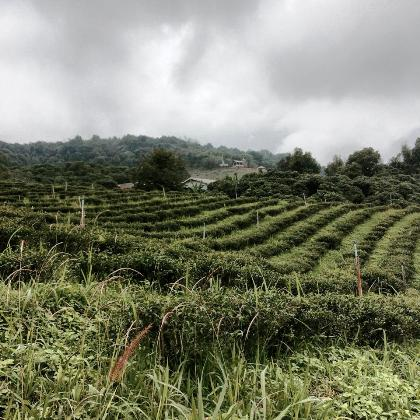 Cultivating tea: a visit to the tea garden