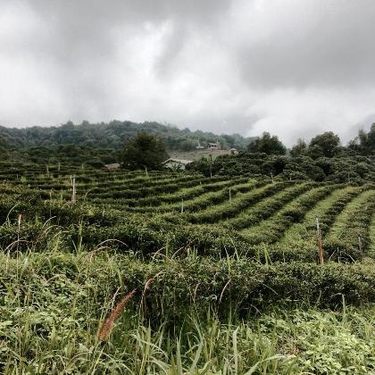 Cultivating tea: a visit to the tea garden