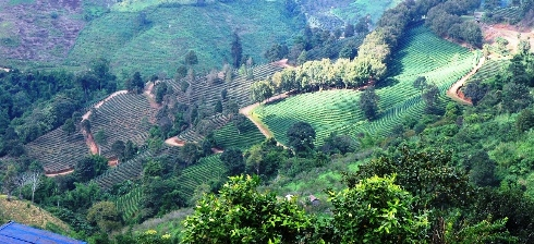101 Tea Gardens, Doi Mae Salong