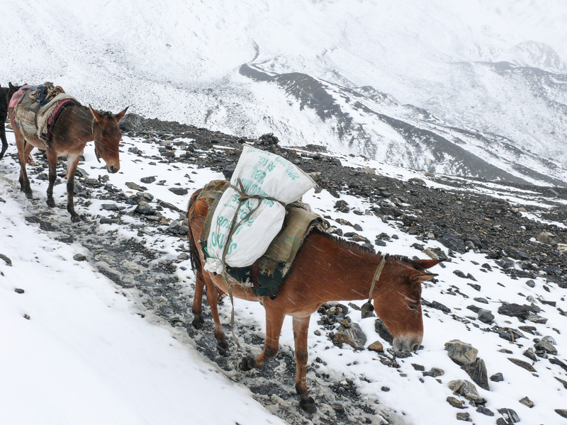 Mules caravan on an old tea horse road trail in Nepal