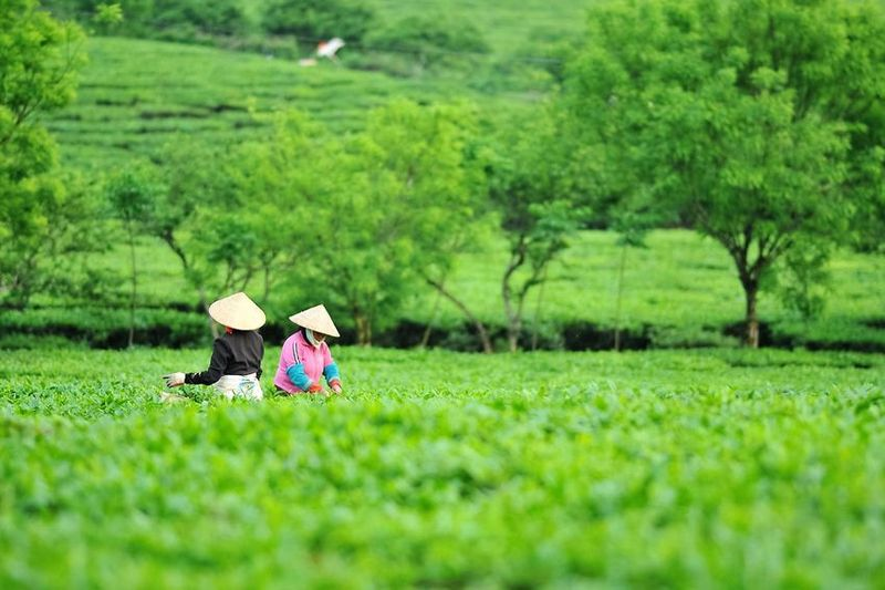 Vietnam tea - tea pickers in a conventional tea garden in Ha Giang province