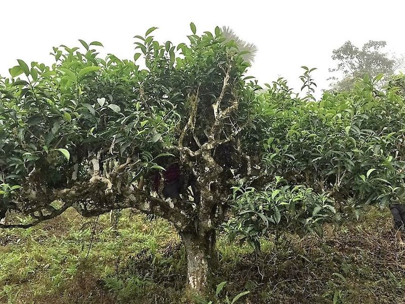 Vietnamese Tea - Ancient 'Thuyet Shan' tea tree in our producer partner's tea garden in Ha Giang, Vietnam