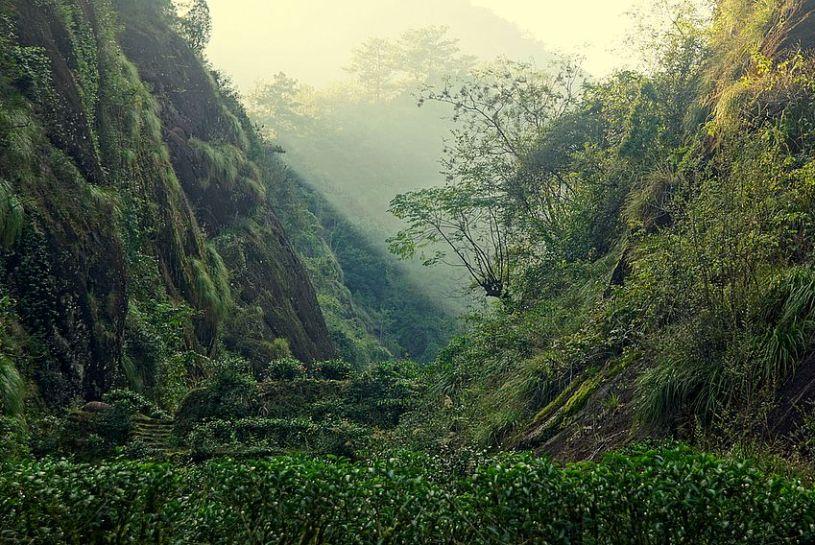Rock Tea Bushes in Zhengyan area, Wuyishan