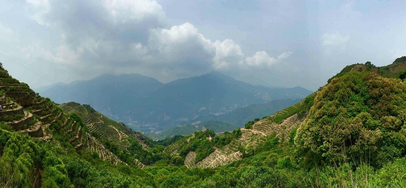 "Fenghuangshan - home to ""half-tree bushed"" of the Dancong variety"