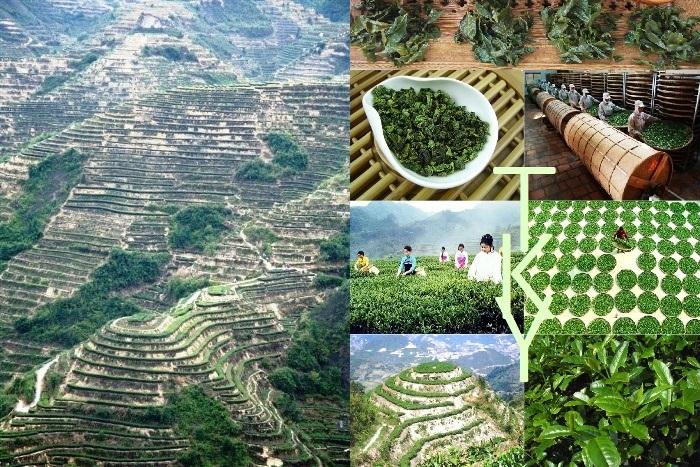 Tie Guan Yin tea plant variety, Anxi, Fujian