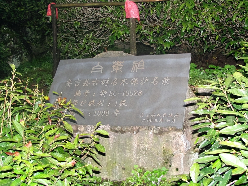 Anji Bai Cha Motherbush
