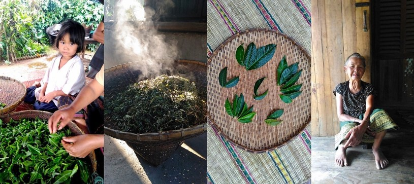 impressions from the Lao world of tea