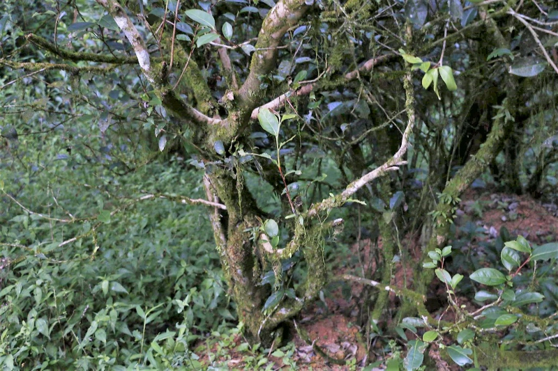 Yancha (Rock Tea) Bush in Wuyishan's Zhengyan area