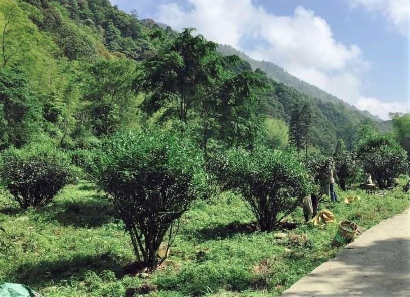 Bohea tea bushes in Wuishan, Fujian province, China