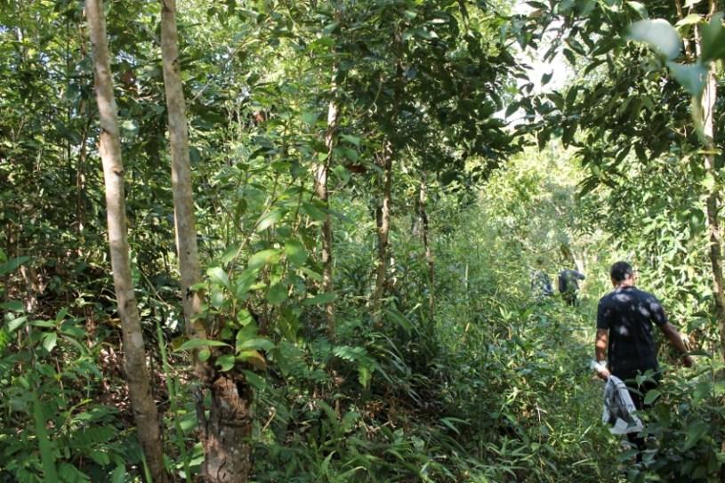 Exploring tea plants in the wild forests of Mizoram