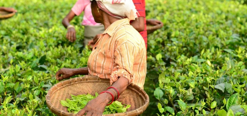 Picking tea at Latumoni tea garden, Assam, north east India