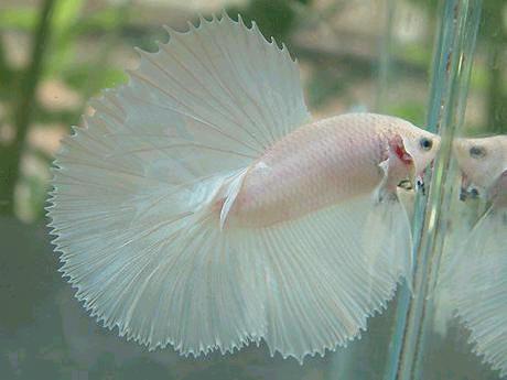 Ikan Cupang Giant Sebagai Komoditas Usaha Sampingan Potensial