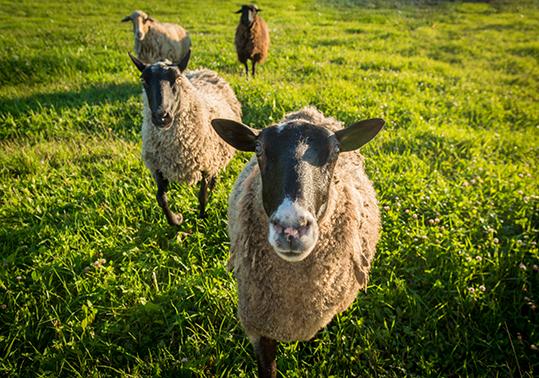 Moutons pour éco-pâturage