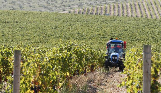 berba vinograd