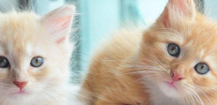 Kitten Banner