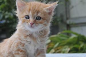 red-tabby-kitten
