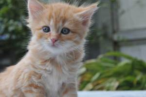 red-tabby-kitten