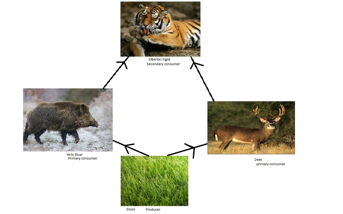 african elephant food chain diagram haltech interceptor wiring here s a comparing terrestrial and web siberian tiger