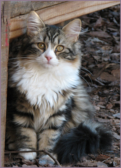About Siberian Cats  Golden Dawn Siberians