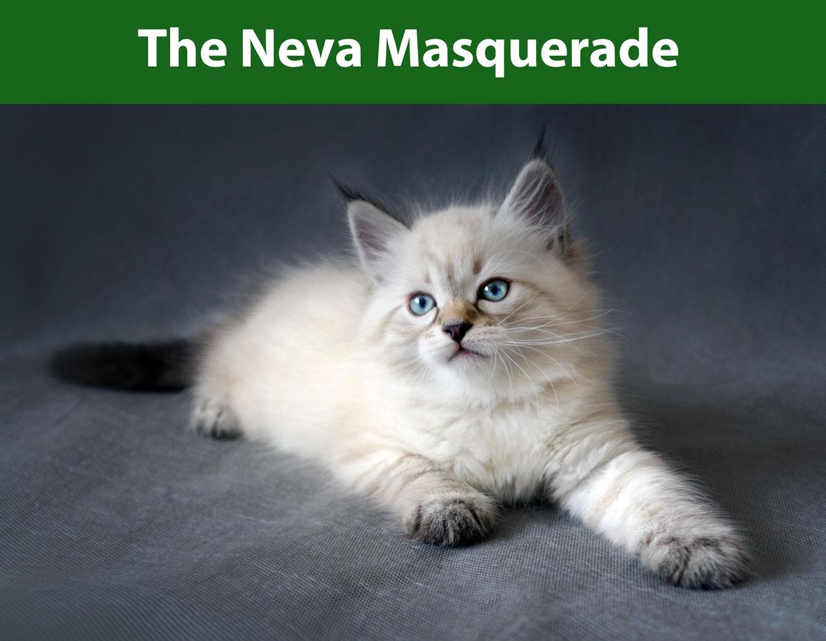 the neva masquerade siberian