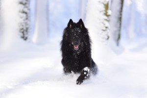 Belgian Sheepdog in snow