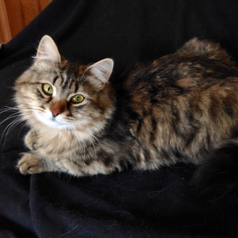 Siberian Cats for sal