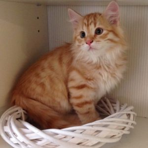 Xentric - Siberian cat for sale