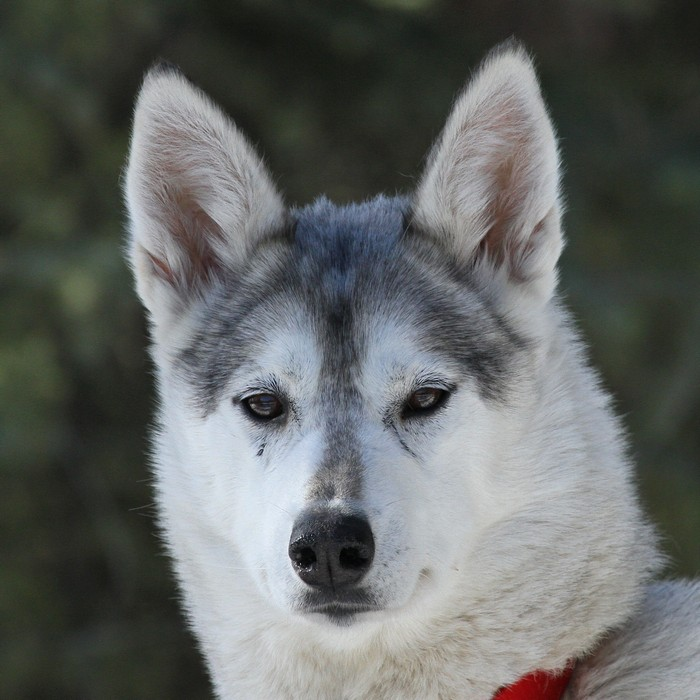 Siberian Sleddogs | Sisu and Snuppa are expecting puppies!