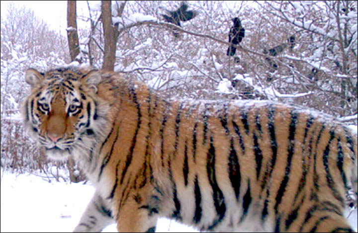 Image result for siberian tiger and putin