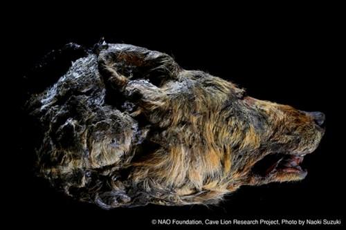 Pleistocene wolf