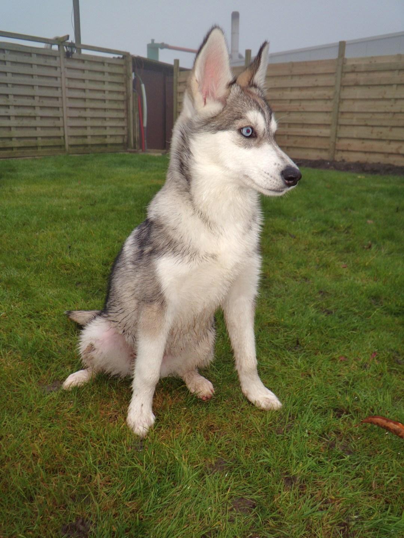 Siberische Husky pups te koop