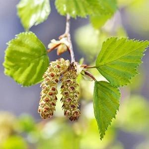 Гидролат весенных соцветий берёзы