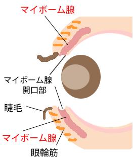 マイボーム腺