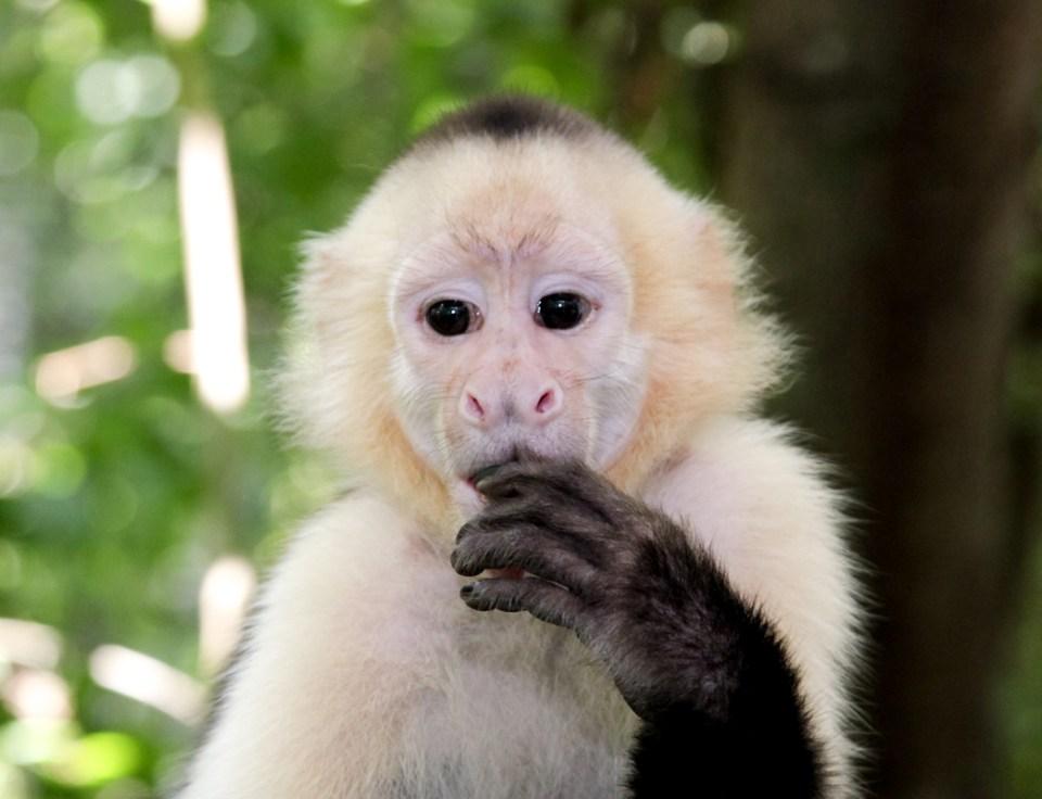 white-capuchin