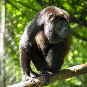 costa rica howler monkey rehabilitation and release