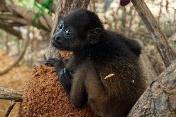 adopt Zuki the howler monkey
