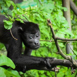 adopt a howler monkey