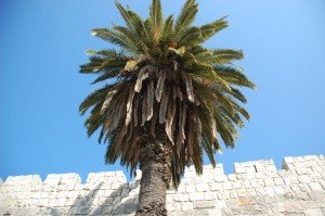 palm tree by the gates of Jerusalem