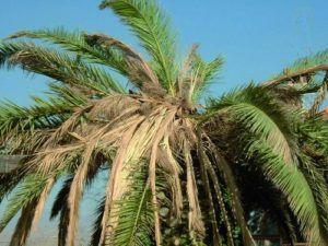 Palma (giardinaggioweb.net)