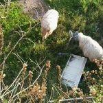 Pecore che brucano tra rifiuti ed elettrodomestici abbandonati