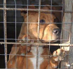 Pitbull cane in gabbia
